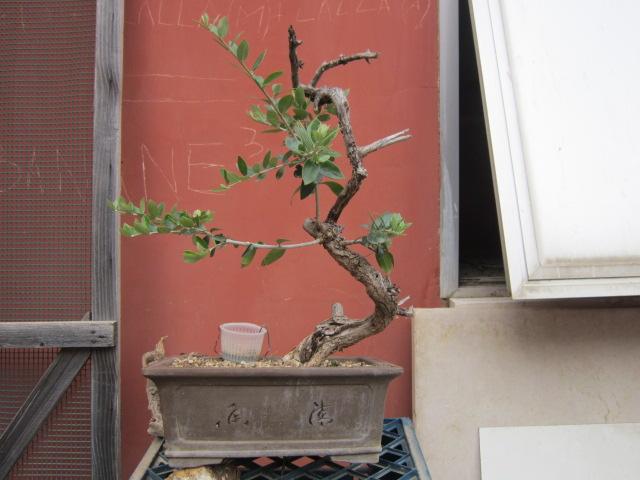 albero d'Italia Img_6115