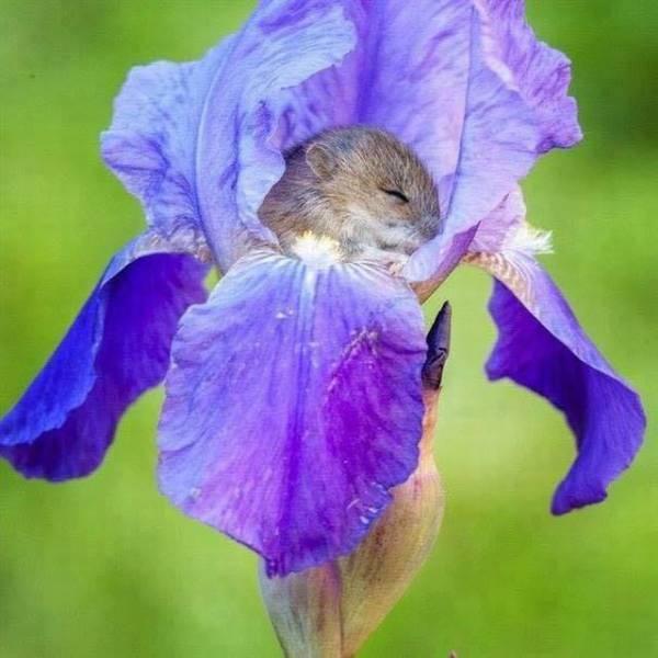Iris souriceau 6810