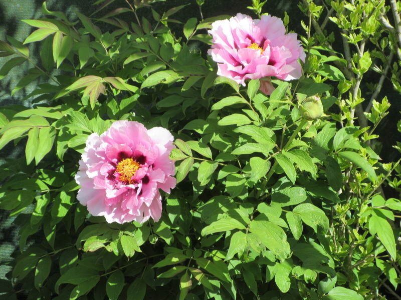 Pivoines 2018 - Page 2 Img_0811