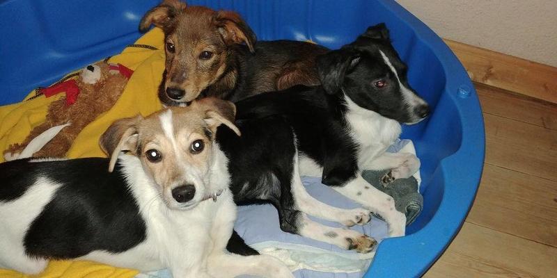 Transfert de 12 + 3 chiens de la fourrière de Piatra Neamt vers Bucarest pour le refuge d'Ellen 22495910