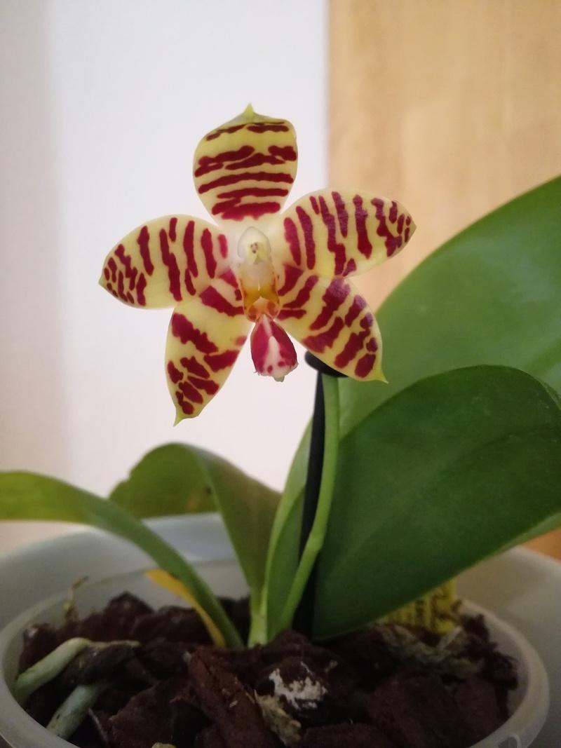Orchideen-Neuzugang 2 Img_2017