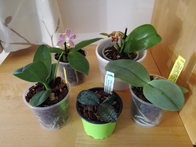 Orchideen-Neuzugang 2 Img_2018