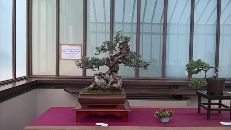 """Esposizione bonsai Club Palermo alla mostra """"Zagara di Primavera"""" Wp_20120"""