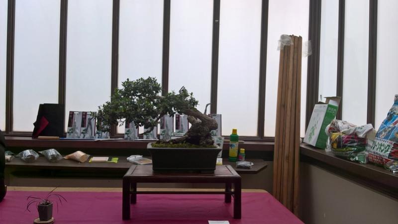 """Esposizione bonsai Club Palermo alla mostra """"Zagara di Primavera"""" Wp_20121"""