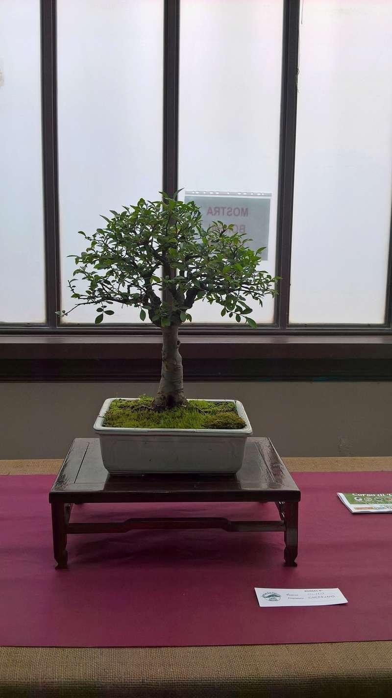 """Esposizione bonsai Club Palermo alla mostra """"Zagara di Primavera"""" Wp_20123"""