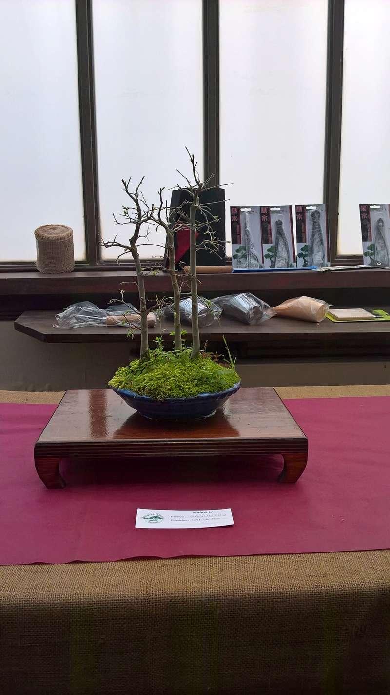 """Esposizione bonsai Club Palermo alla mostra """"Zagara di Primavera"""" Wp_20124"""