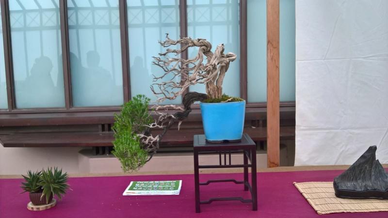 """Esposizione bonsai Club Palermo alla mostra """"Zagara di Primavera"""" Wp_20125"""