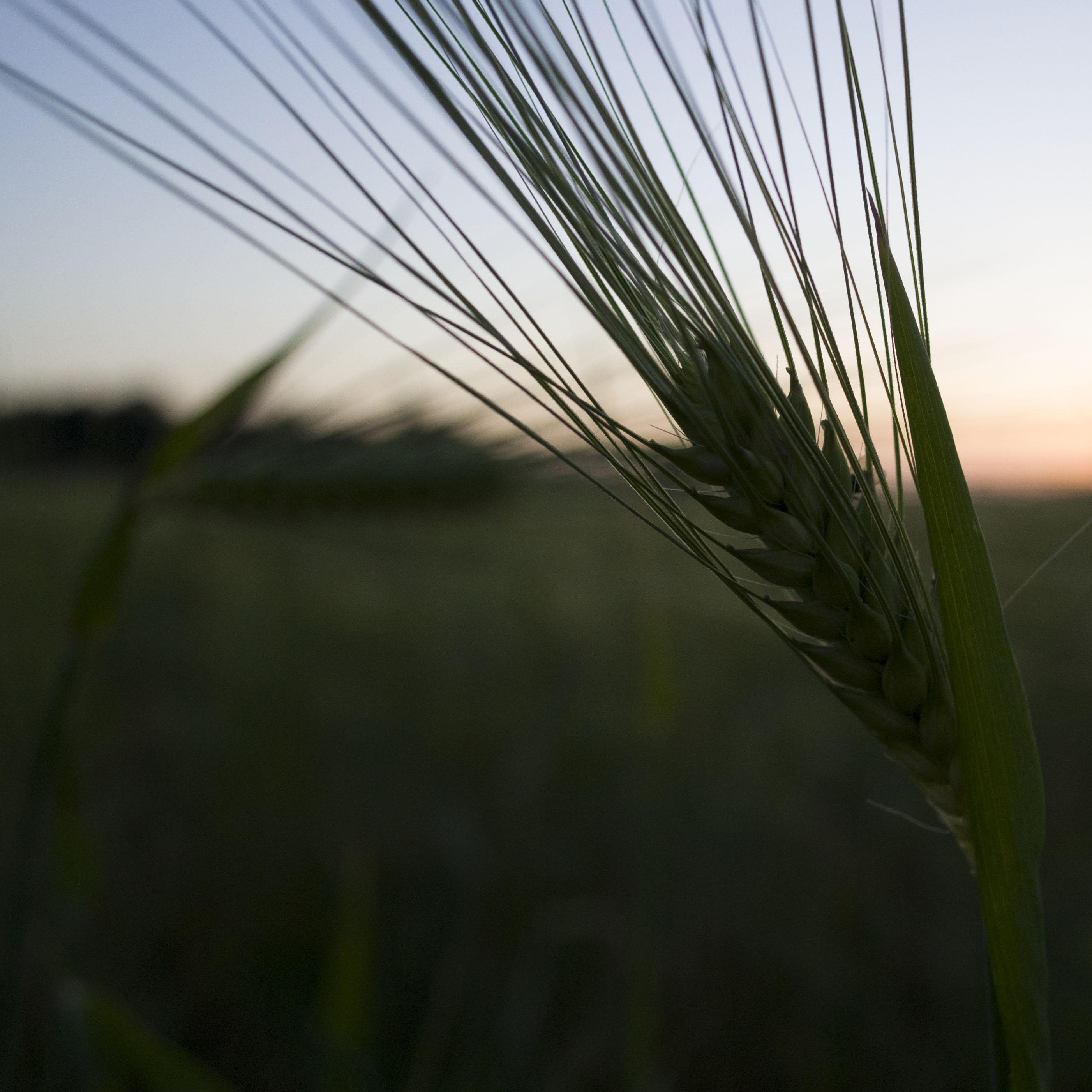 L'épi de blé Epi_de10