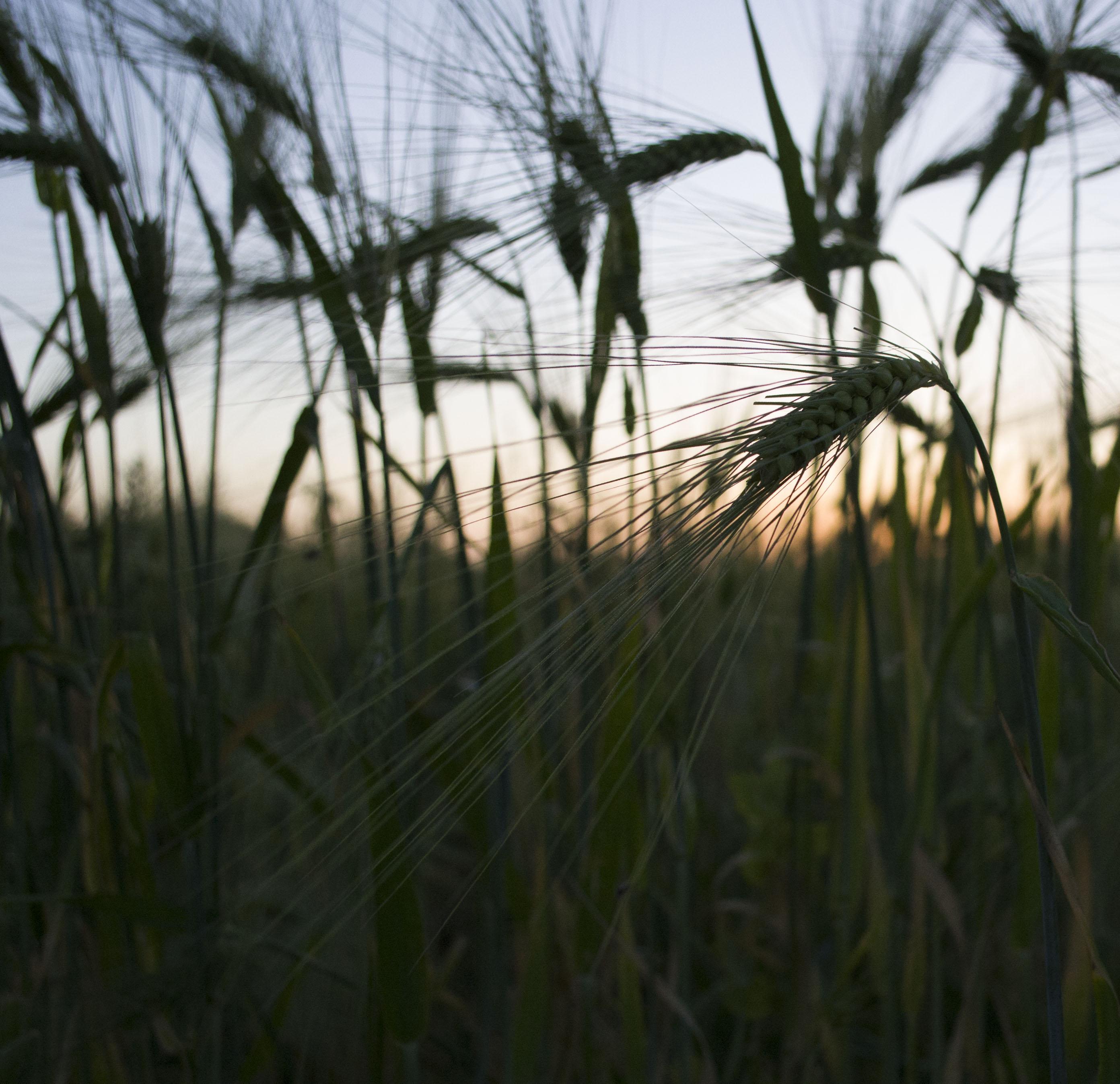 L'épi de blé Epi_de11