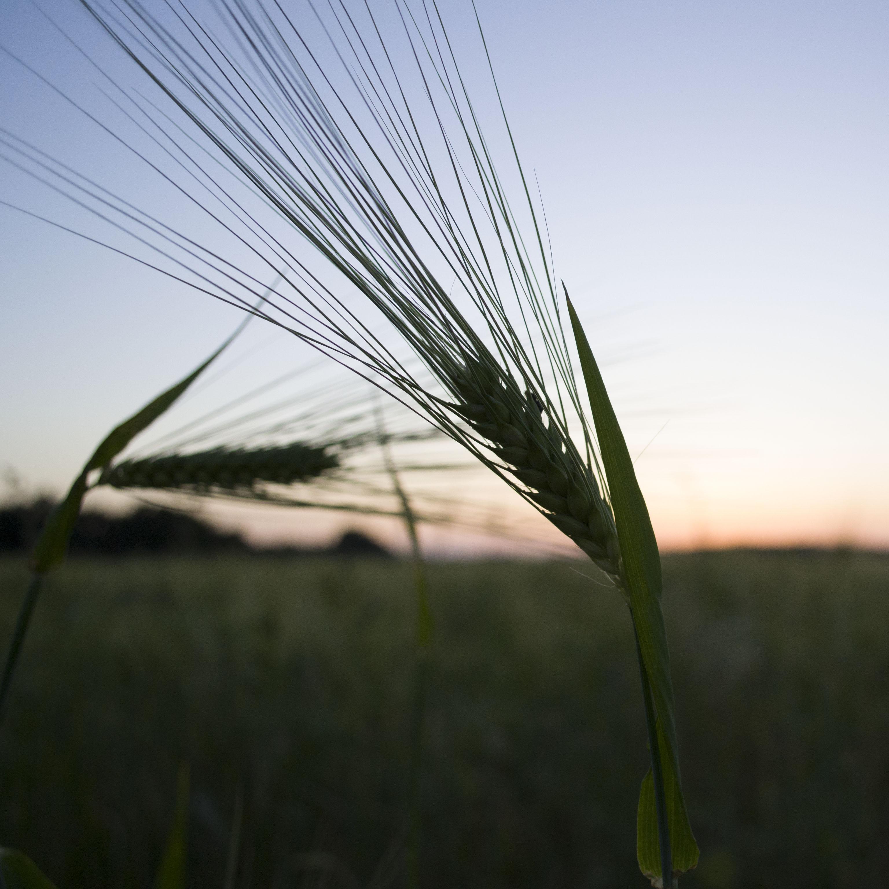 L'épi de blé Epi_de12