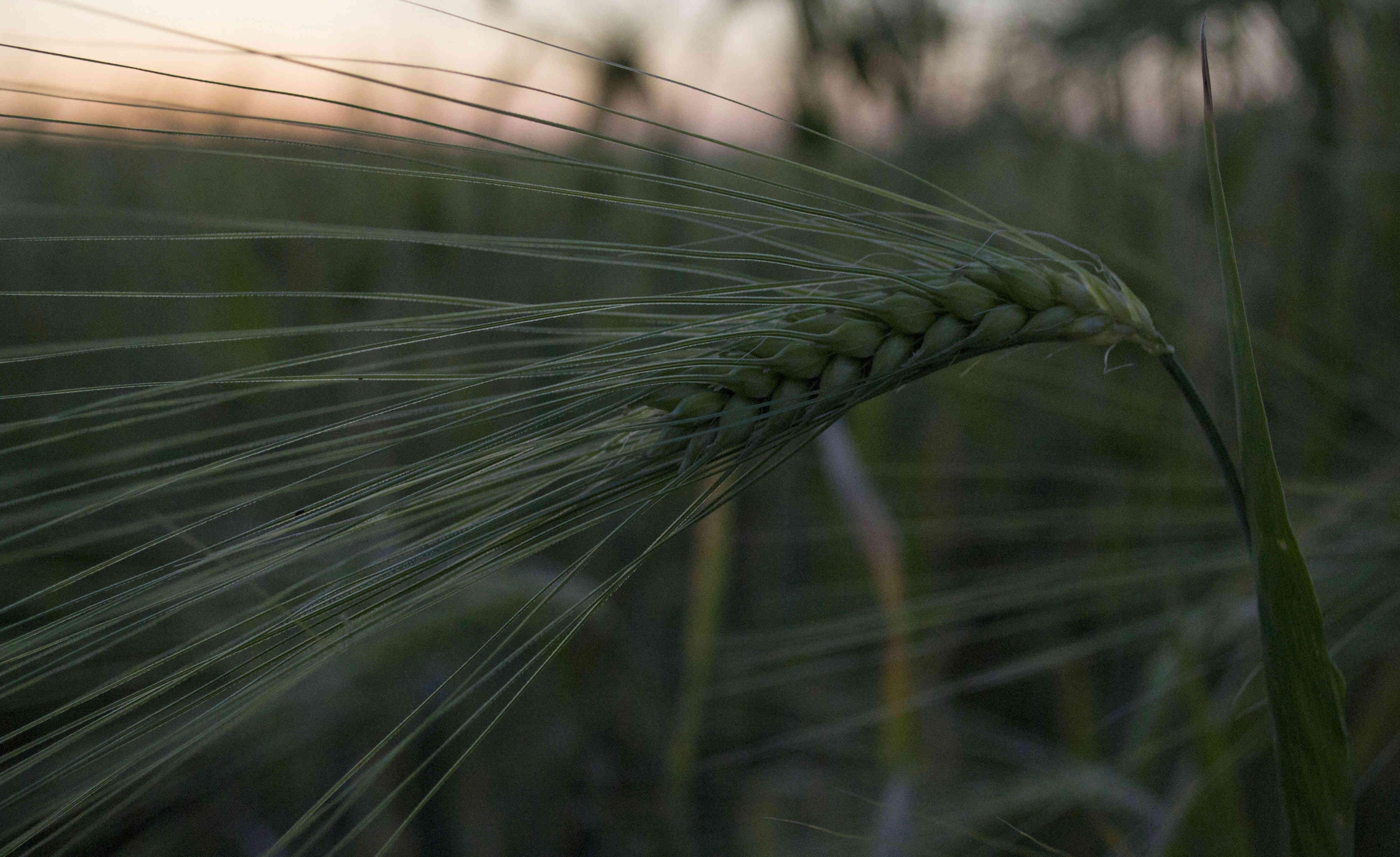 L'épi de blé Epi_de13