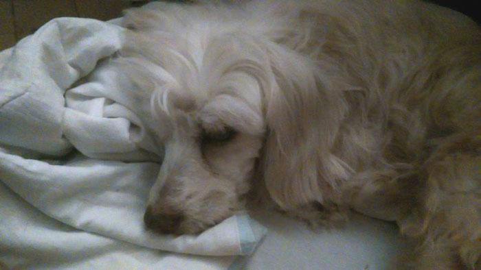 chien trouvé, état déplorable Snow-d10