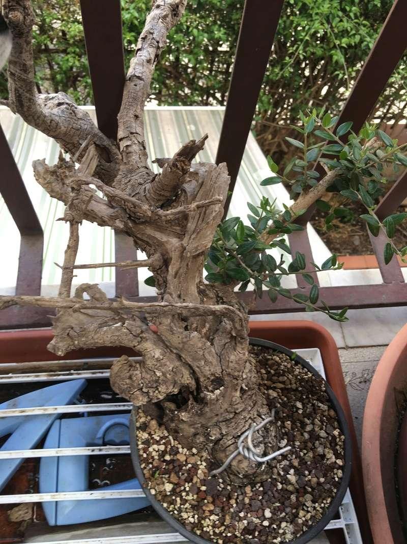 Buon Natale a tutti ... primo step di un pre-bonsai di olivastro 2016-024