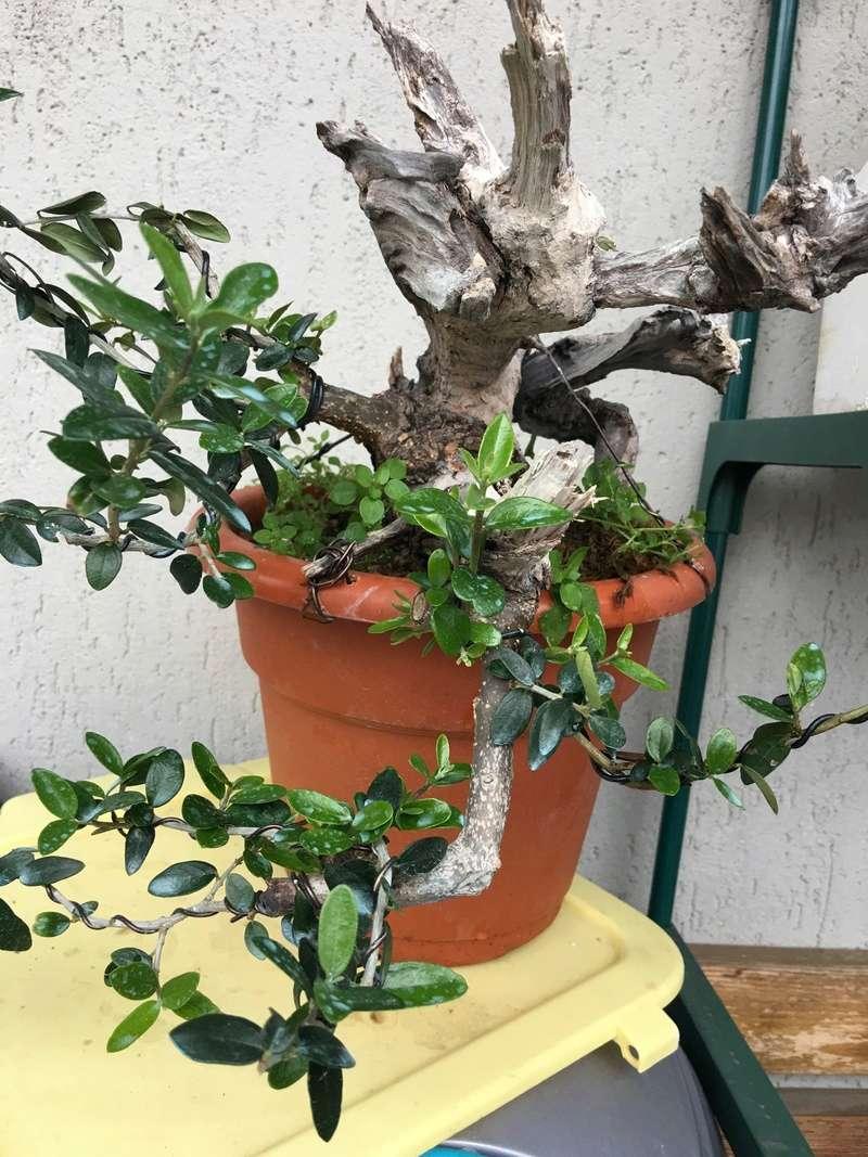 Buon Natale a tutti ... primo step di un pre-bonsai di olivastro Img_2922