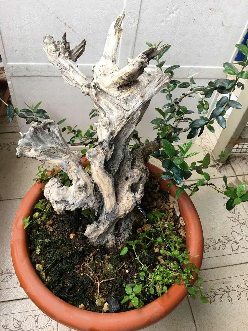 Buon Natale a tutti ... primo step di un pre-bonsai di olivastro Img_2923