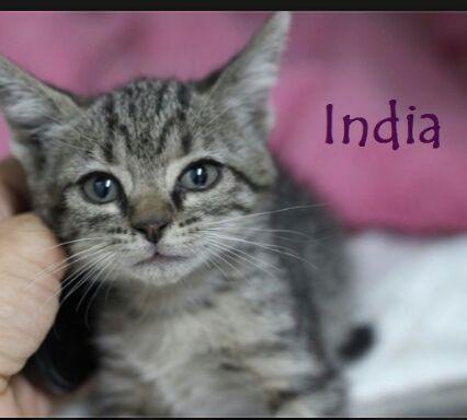 INDIA - TIGREE GRISE - JUIL 17 - En FA en Suisse Img-2783