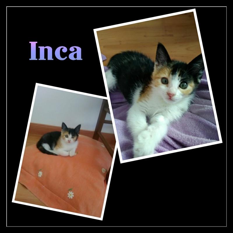 INCA.  Tricolore ( Sole) Img15118