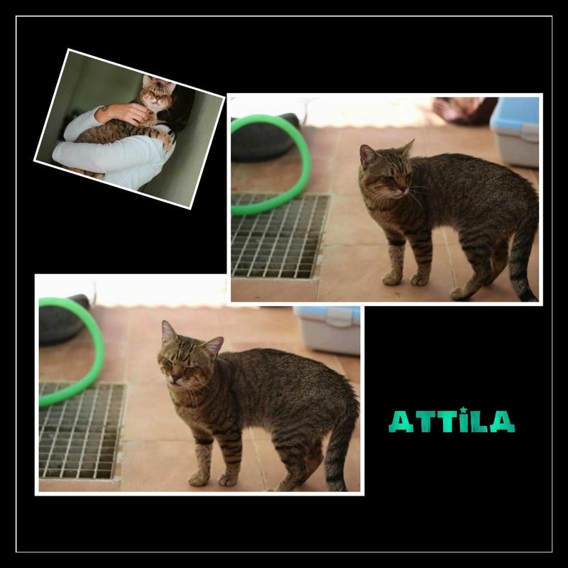 ATTILA - MAGNIFIQUE CHAT TIGRE - SOLE Img15149