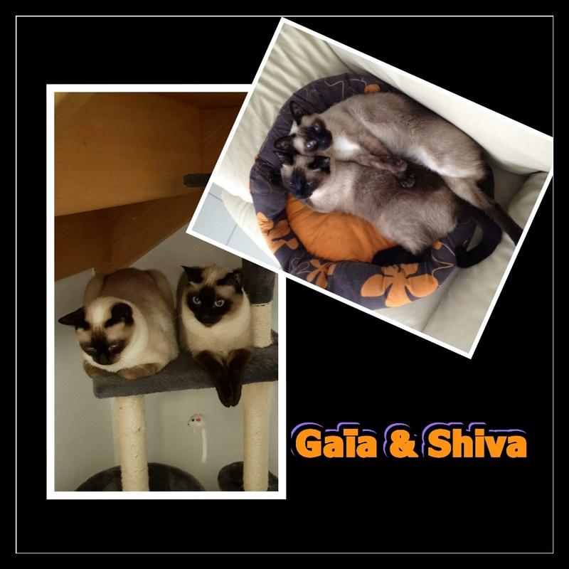 GAÏA & SHIVA.  Siamoises   ( 01) Img15154