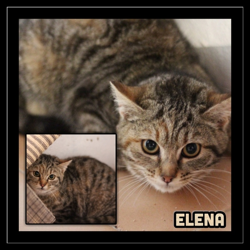ELENA. Tigrée Marron   ( El Arca) Img15162