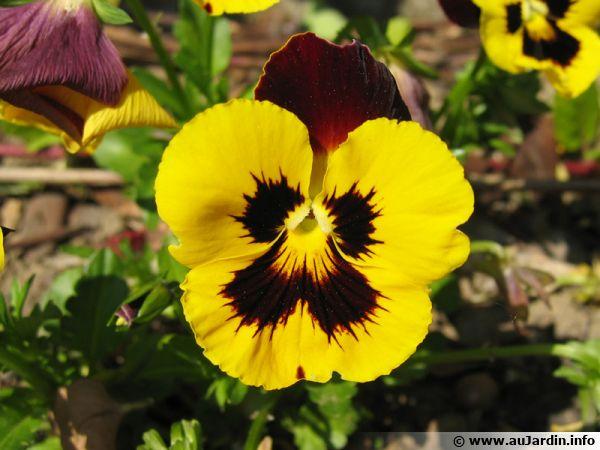 Fleurs de saison - Page 5 Viola-10