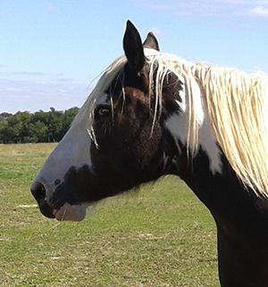 A vendre Pouliche OC (Paint horse / Comtois) 2014 Eyzia010