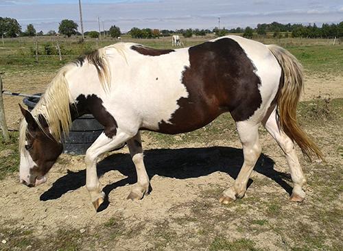 A vendre Pouliche OC (Paint horse / Comtois) 2014 Eyzia012