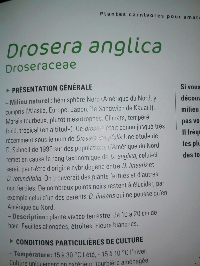 Origine de Drosera anglica Img_2081