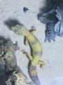 alimentation Gecko211