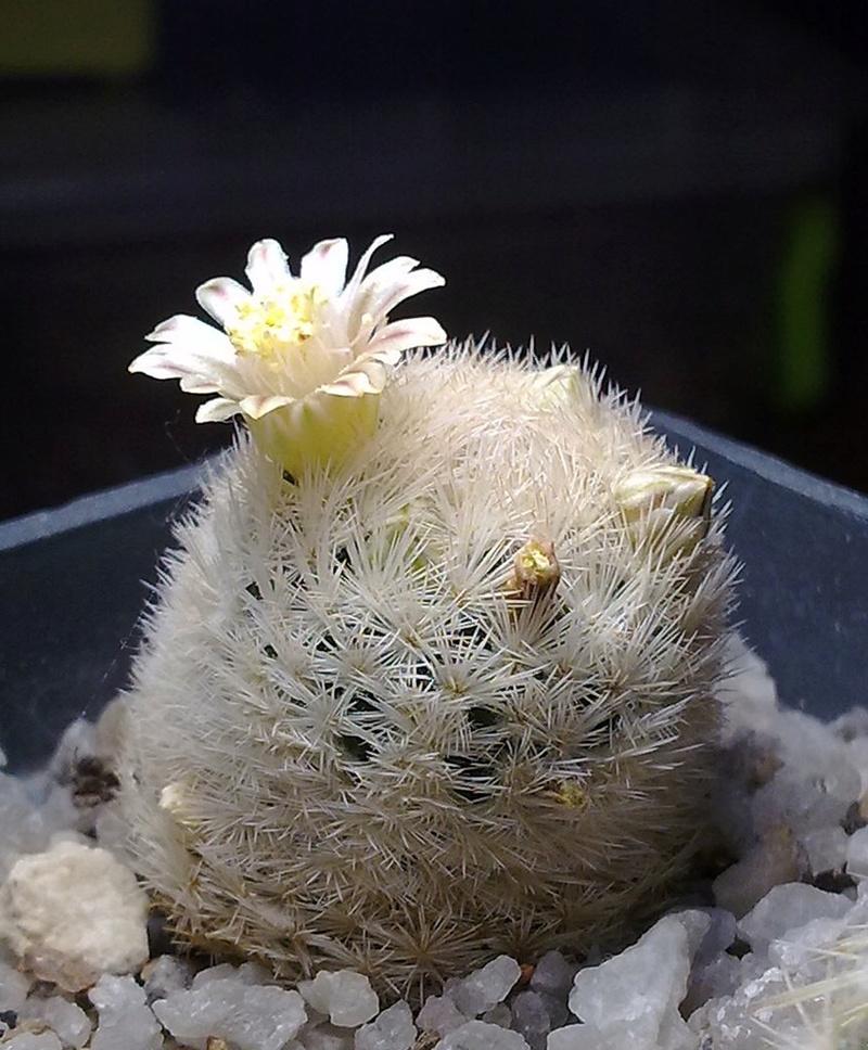 Mammillaria lasiacantha ssp. egregia 02122012