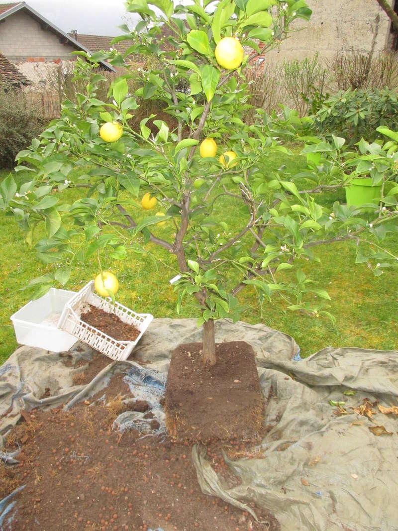 Rempotage avec un meilleur substrat d'un citronnier portant des fruits Img_3010