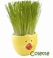 Tradition provençale: Le blé de la Sainte Barbe  Cheveu10