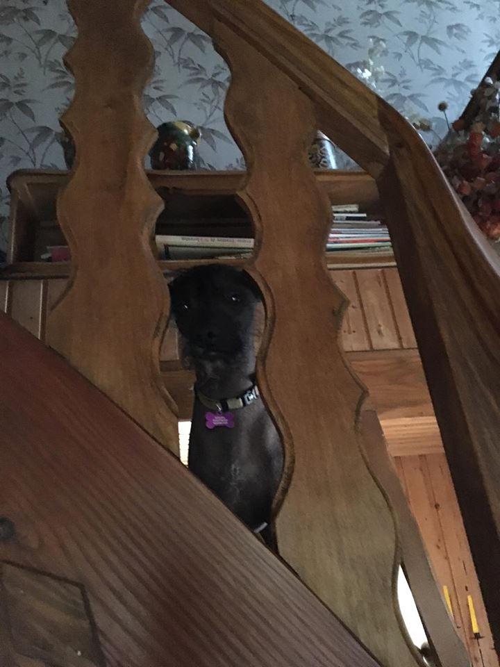 Caramel chien chinois à crête à l'adoption Scooby France  Adopté  - Page 2 22054210