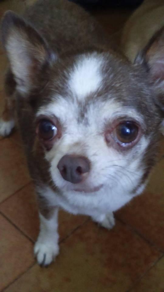TINO petit chihuahua de 10 ans ADOPTE 22538210