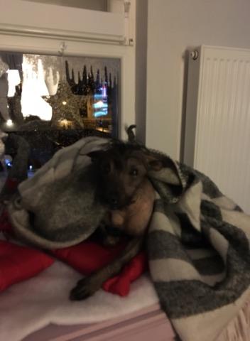 Caramel chien chinois à crête à l'adoption Scooby France  Adopté  26234010