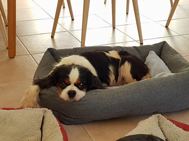 Fiona une adorable cavleir king charles 29855210