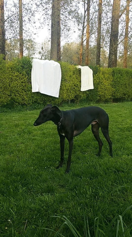 Elmer galgo noir Adopté  31068910