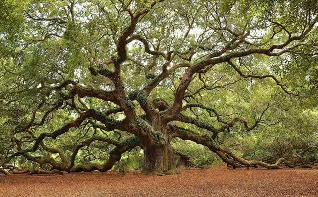 Hommages aux arbres Chene10