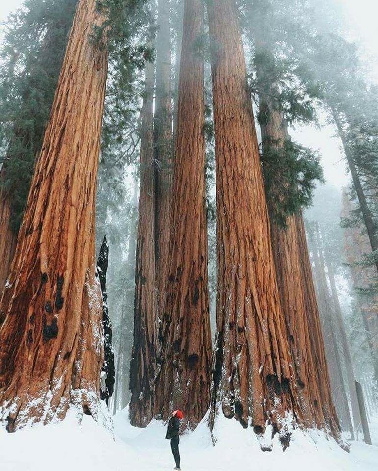 Hommages aux arbres Sequoi10