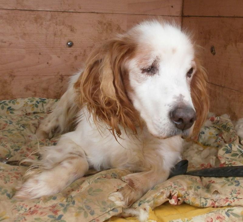 TOMY, épagneul breton mâle, 14 ans et 9 mois -  refuge ADSA (25)  P3271110