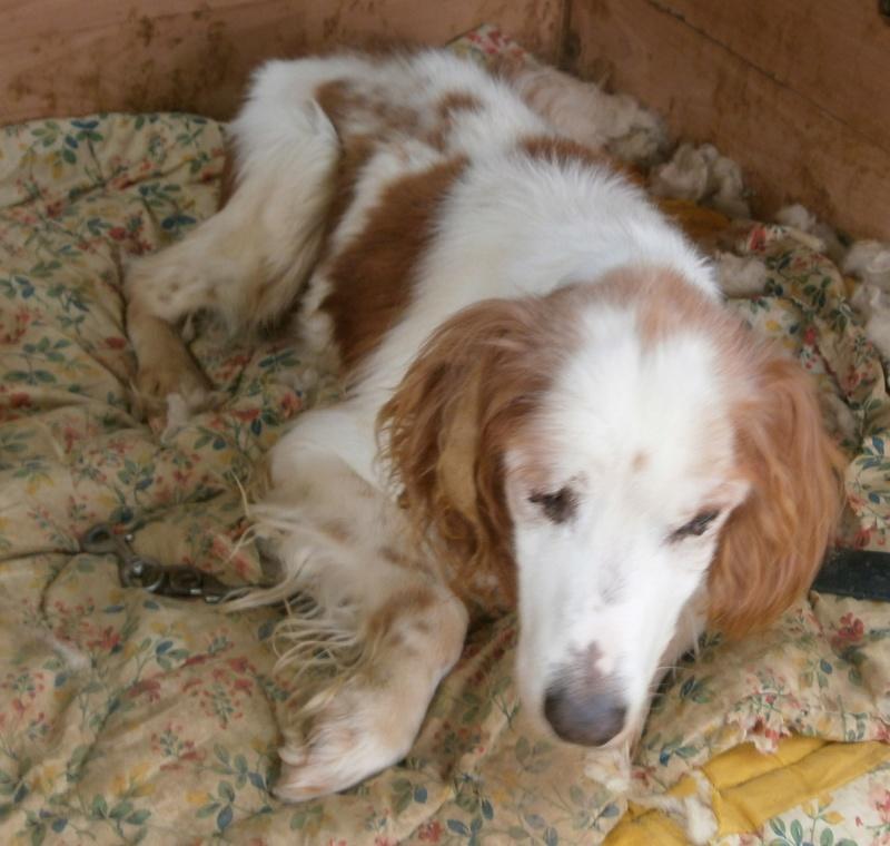 TOMY, épagneul breton mâle, 14 ans et 9 mois -  refuge ADSA (25)  P3271111