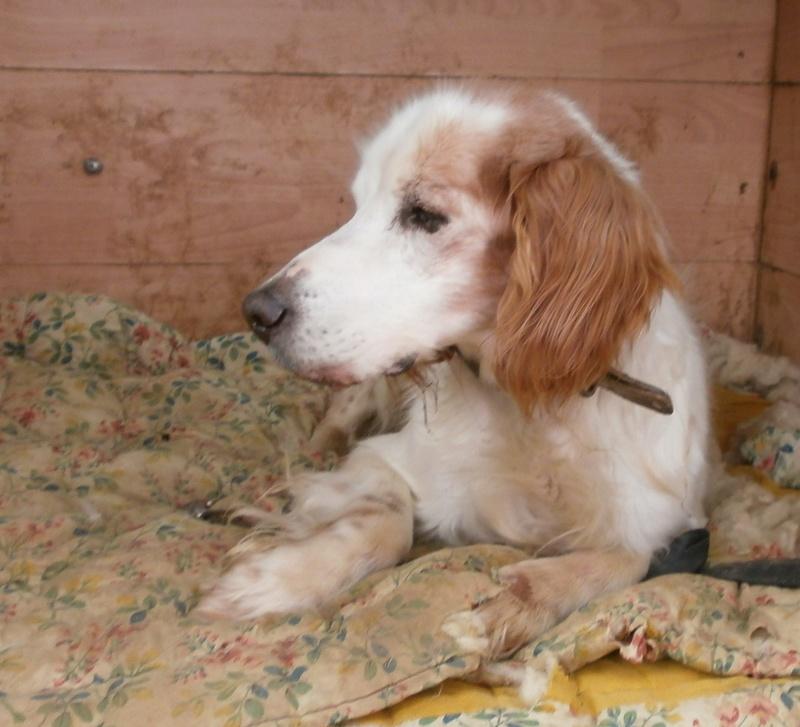 TOMY, épagneul breton mâle, 14 ans et 9 mois -  refuge ADSA (25)  P3271113
