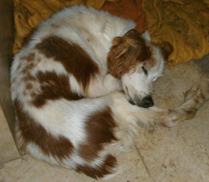 TOMY, épagneul breton mâle, 14 ans et 9 mois -  refuge ADSA (25)  P4051110