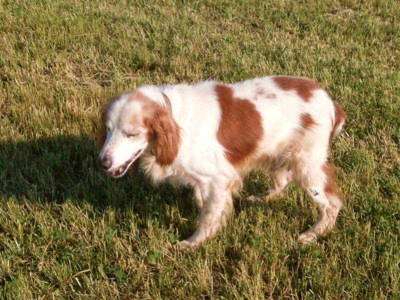 TOMY, épagneul breton mâle, 14 ans et 9 mois -  refuge ADSA (25)  P5091311