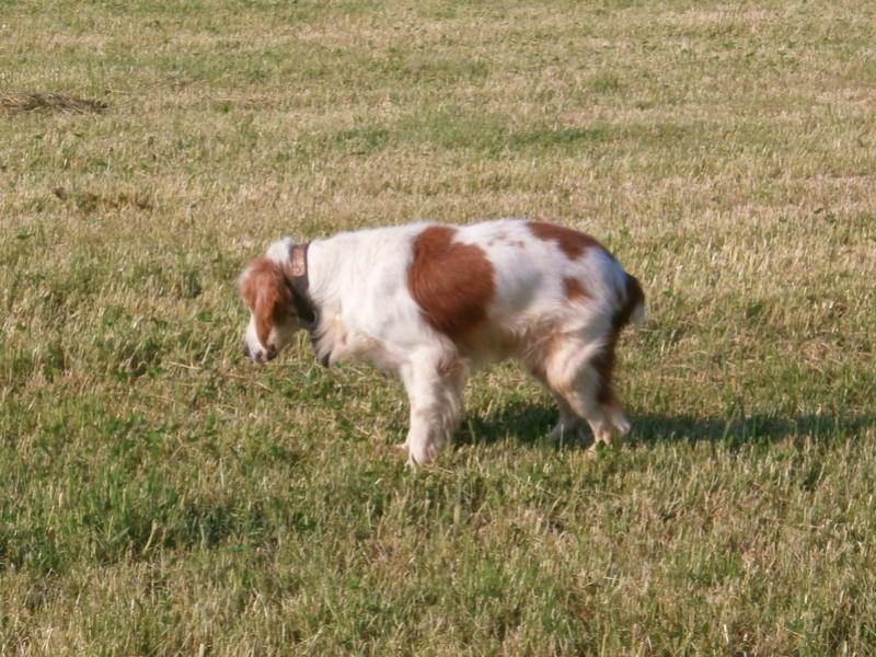 TOMY, épagneul breton mâle, 14 ans et 9 mois -  refuge ADSA (25)  P5091314