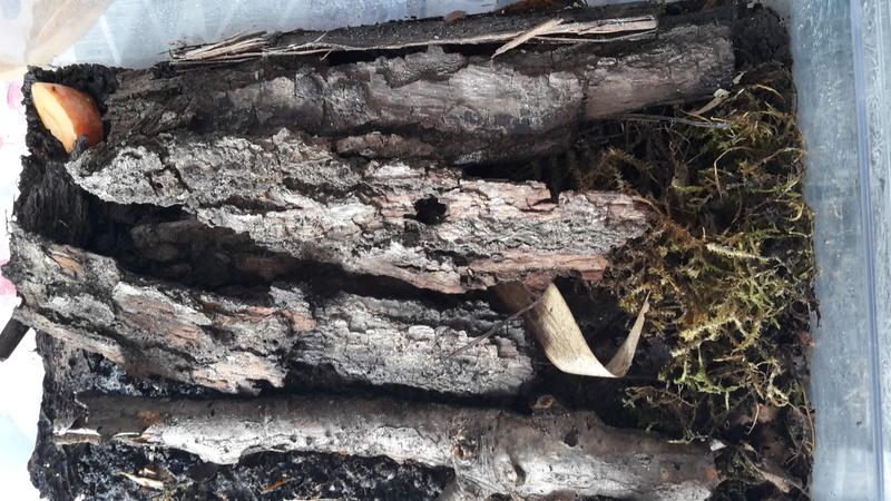 L'intérêt de l'élevage et les rôles du cloporte en terrariophilie  20180211