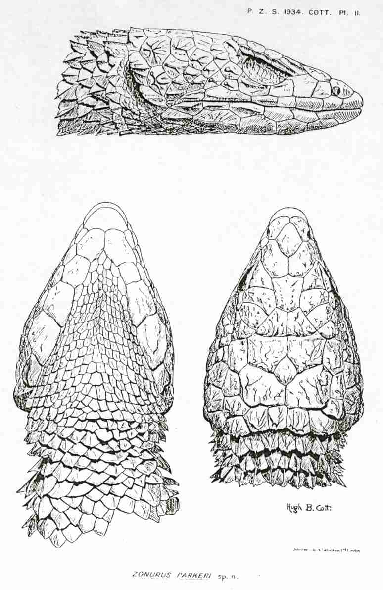[fiche]Cordylus tropidosternum Sc00710
