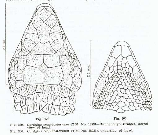 [fiche]Cordylus tropidosternum Sc08510