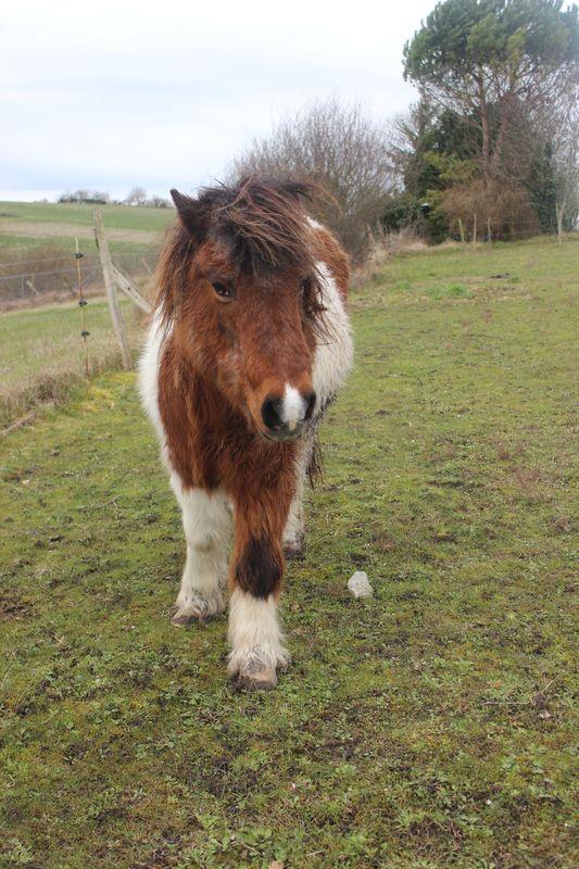 PIPO - Poney OI typé Shetland né en 1990 - adopté en septembre 2009 par Justine et Janine Img_9228