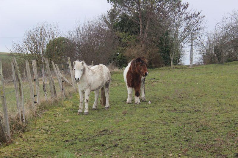 PIPO - Poney OI typé Shetland né en 1990 - adopté en septembre 2009 par Justine et Janine Img_9231